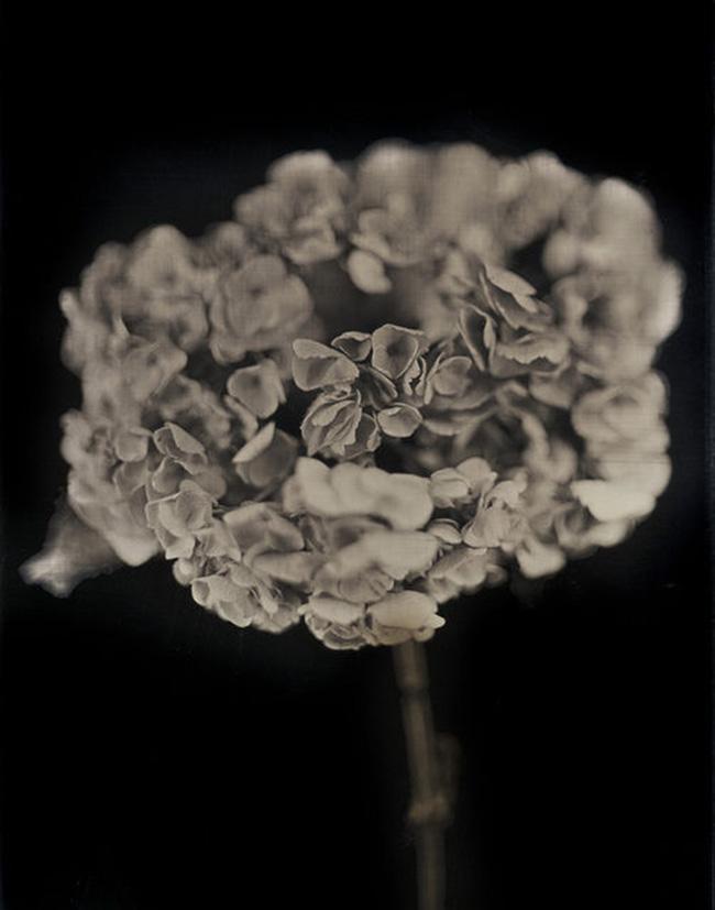 Hydrangea pigment print by Chuck Close | Fine Art – Top 15 Artists – Chuck Close