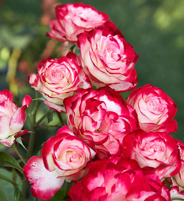 Garden Delight Rose Delight Rose Features a