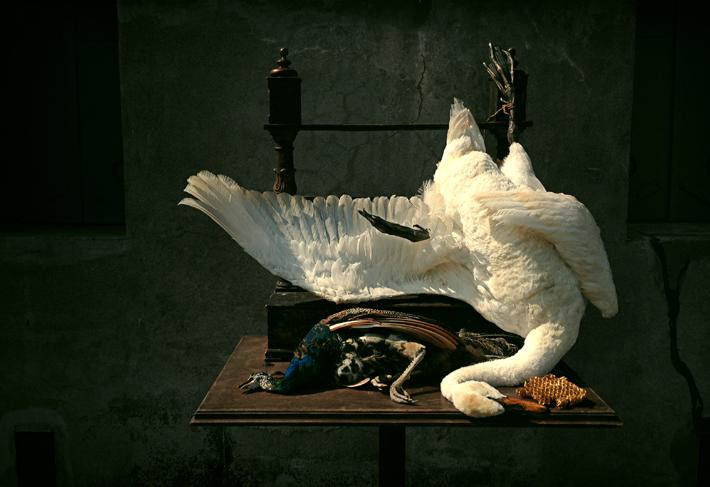 JAN WEENIX (Cygnus olor & Pavo cristatus) by Darwin, Sinke & von Tongeren avian taxidermy