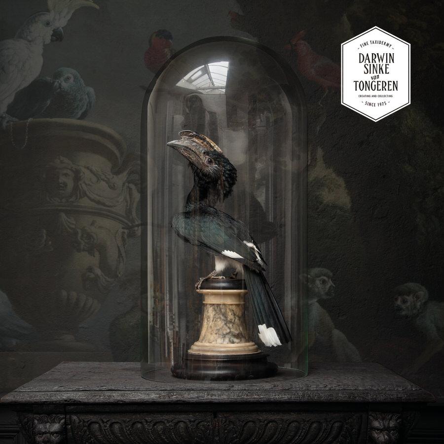 Trumpeter Hornbill by Darwin, Sinke & von Tongeren - taxidermy