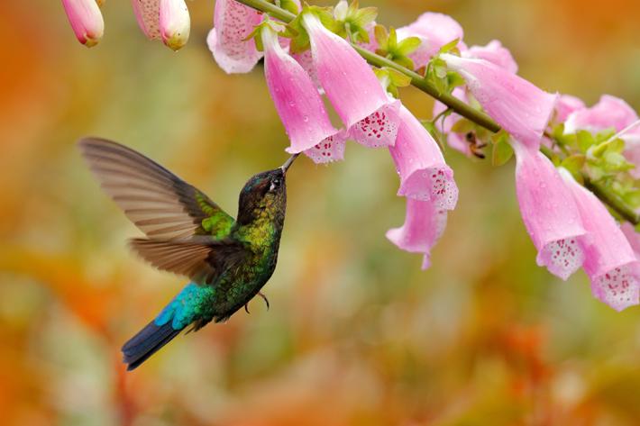 hummingbird capital costa rica