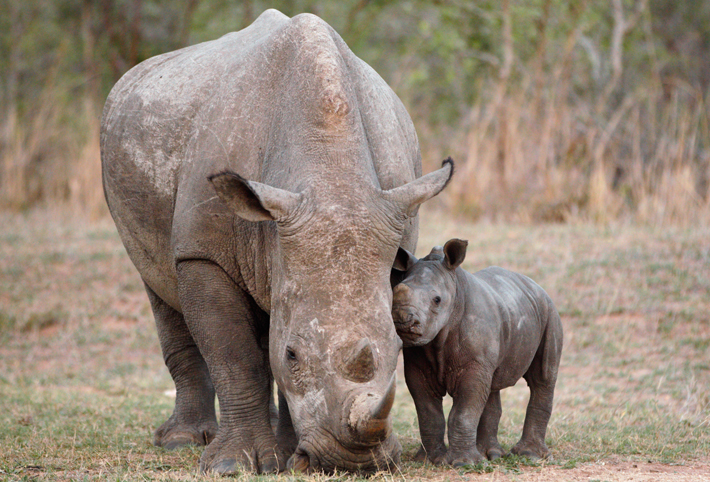 Mum and baby rhino in Africa