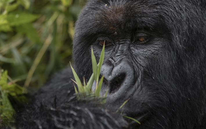 A gorilla near the Singita Kwitonda Lodge