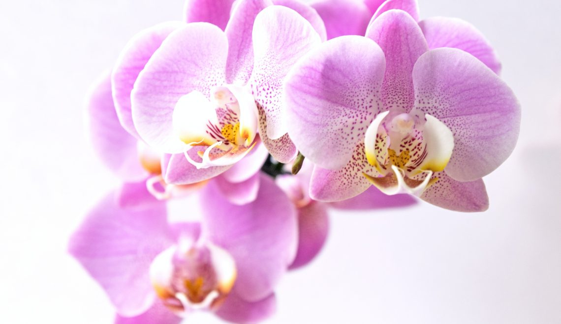 pink orchid - always give thanks & be thankful