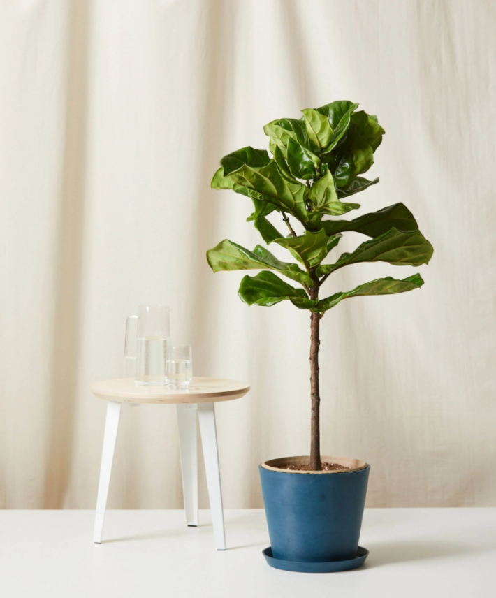 bloomscape fiddle fig plant