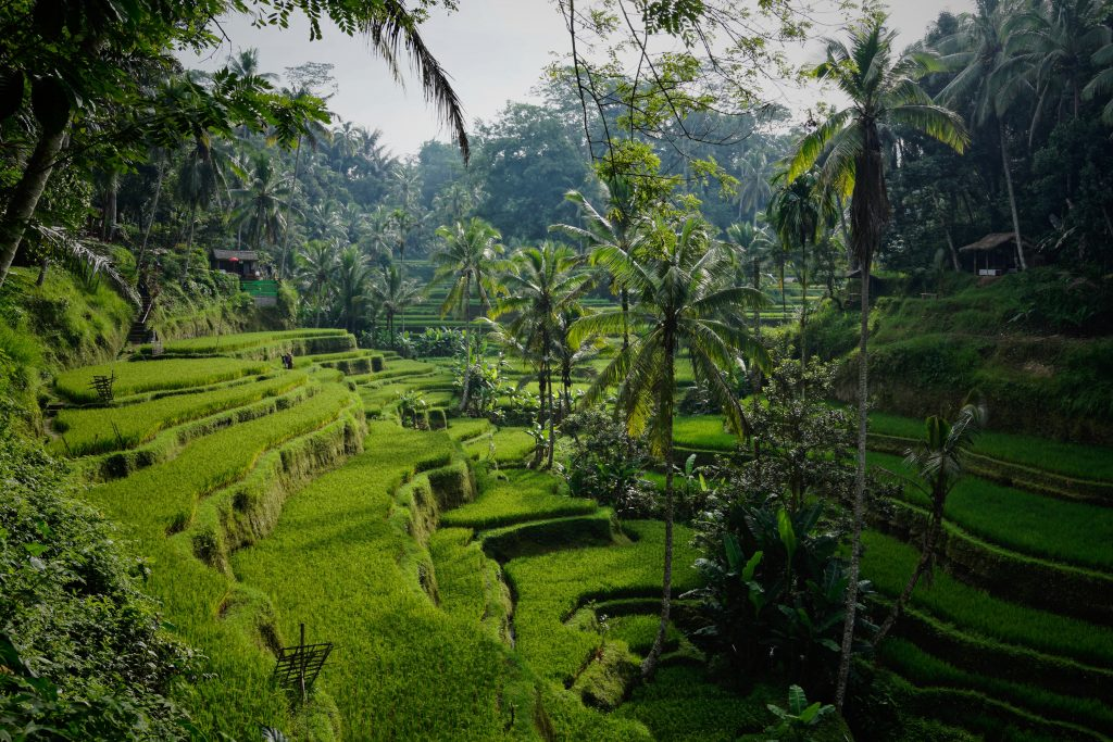 Rice terraces in Tegelalang, Bali (Photo by Niklas Weiss)